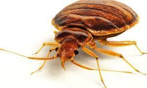11404224-bed-bug-cimex-lectularius